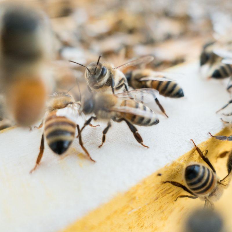 Ricola sostiene Slow Food per la difesa delle api